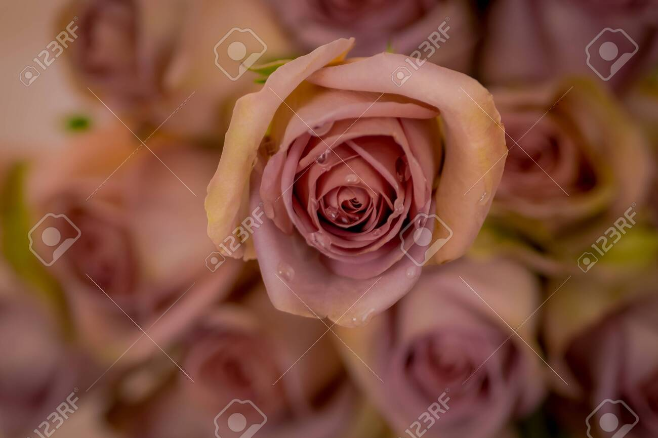 A Bouquet Of Amnesia Roses Variety Studio Shot Pink Flowers Stock Photo Picture And Royalty Free Image Image 151106276