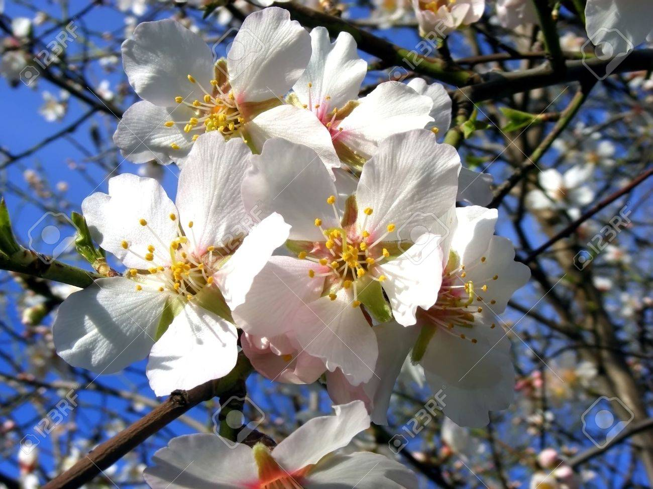 Flowering Almond Tree White Flowers On The Branches Against The
