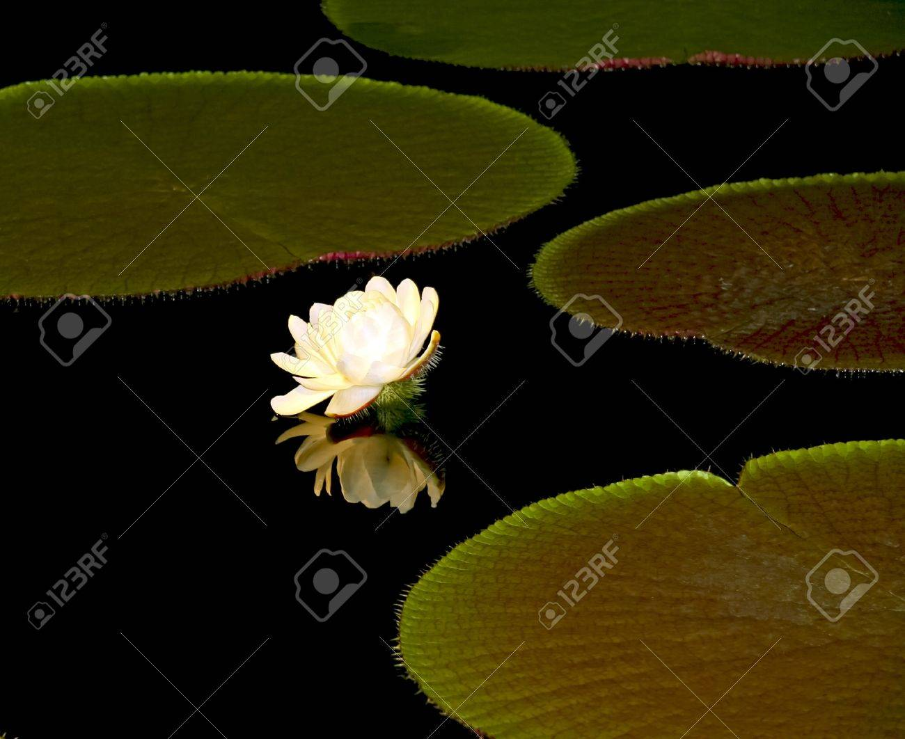 Lotus Flower And Reflection In A Night Pond Stock Photo Picture And