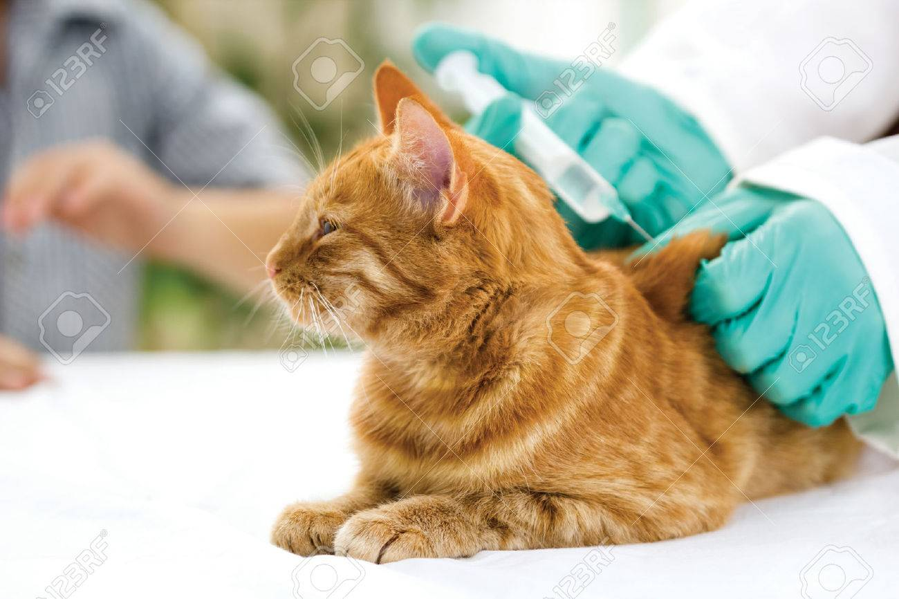 veterinary giving the vaccine to the cat - 23858952