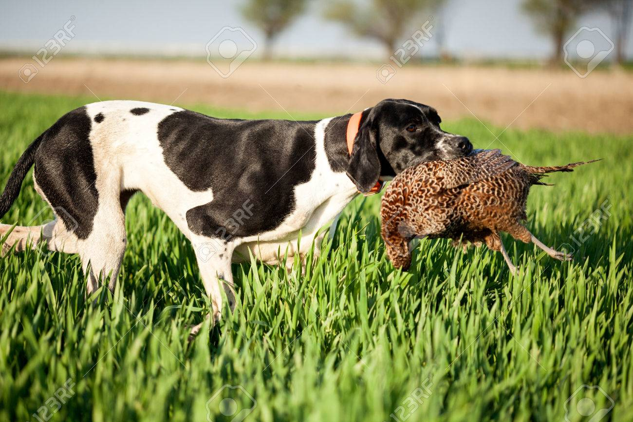 english pointer dog,hunted pheasants and carrying boss - 39659002