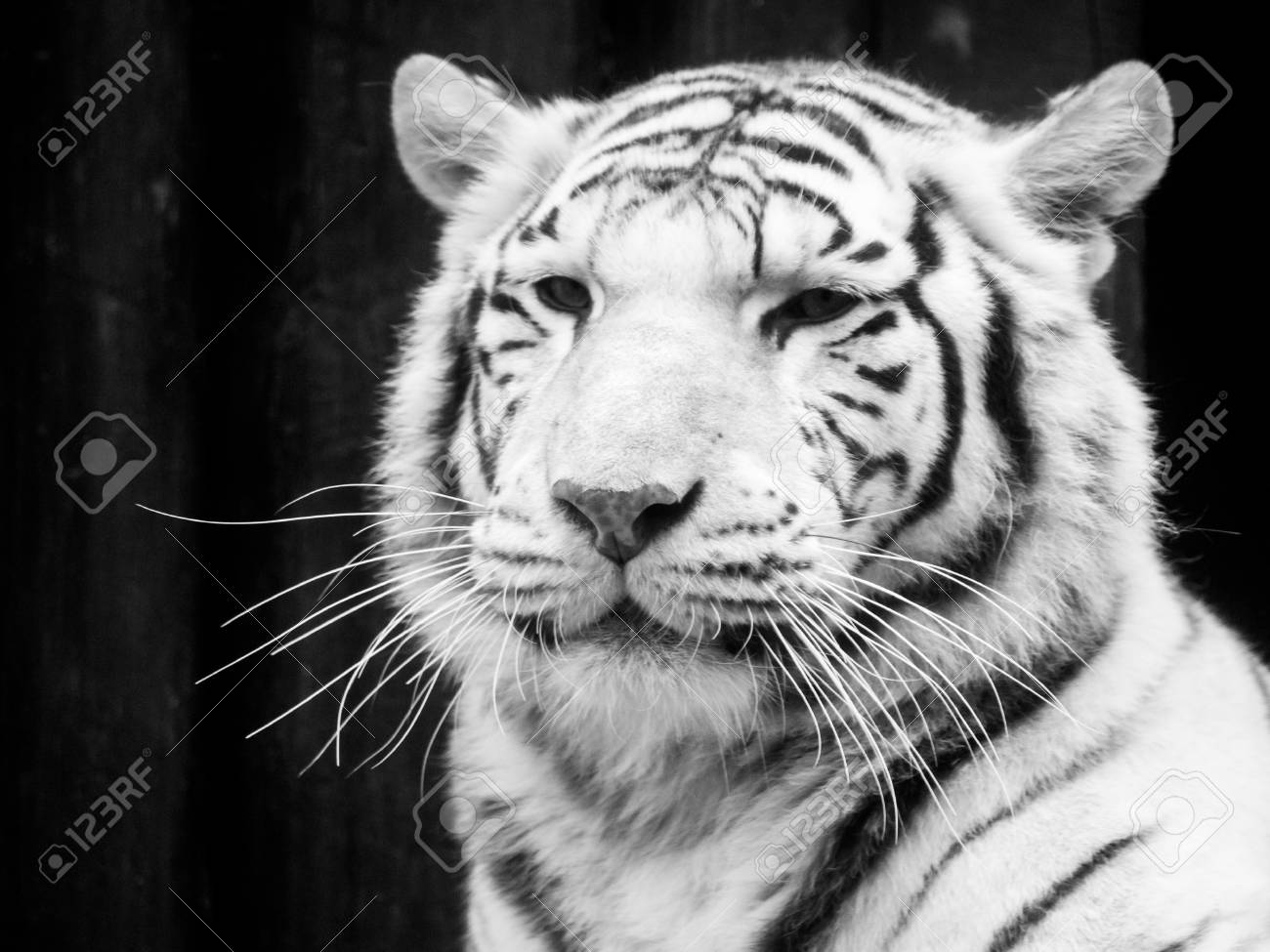 6262abd9b White Tiger Portrait. Black And White Image. Stock Photo, Picture ...