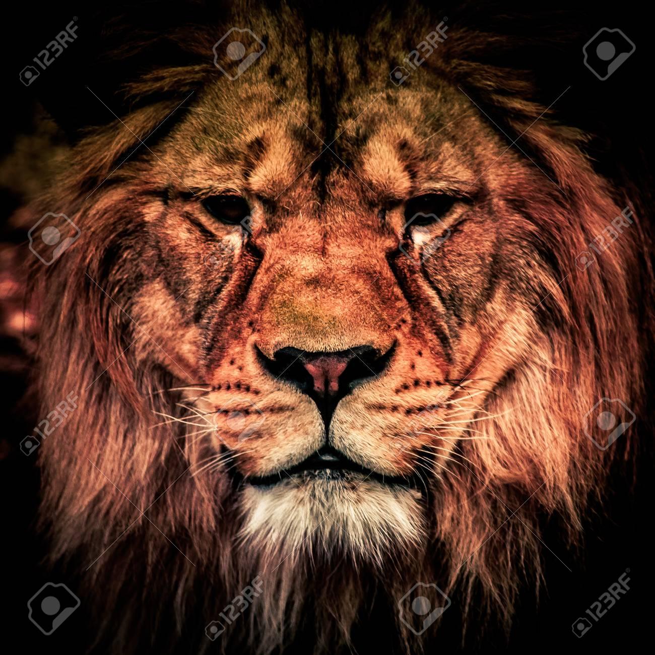 dangerous lion images  Adult Lion In The Dark. Portrait Of Big Dangerous African Animal ...