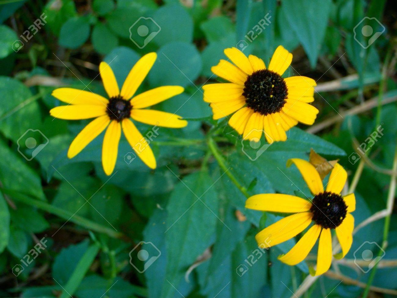 Three Black Eyed Susan Flowers Yellow Daisy Like Flowers With
