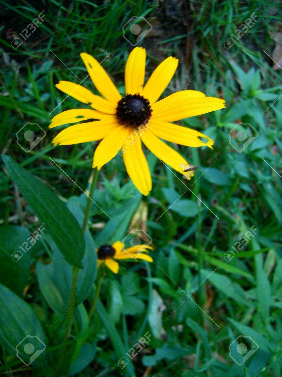 Black Eyed Susan Flowers Yellow Daisy Like Flowers With A Dark