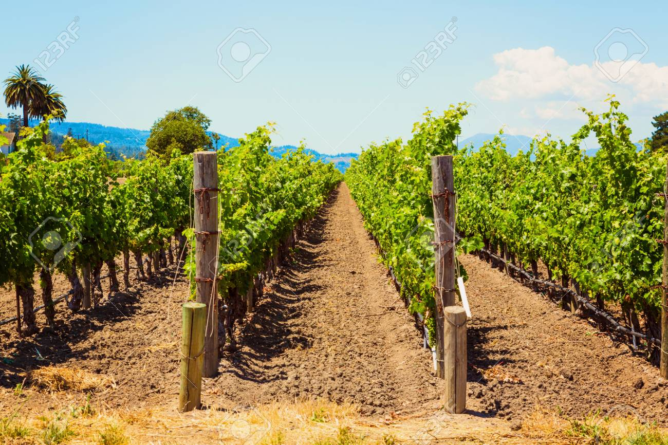 Californian vineyard landscape in Napa Valley in summertime - 97037064
