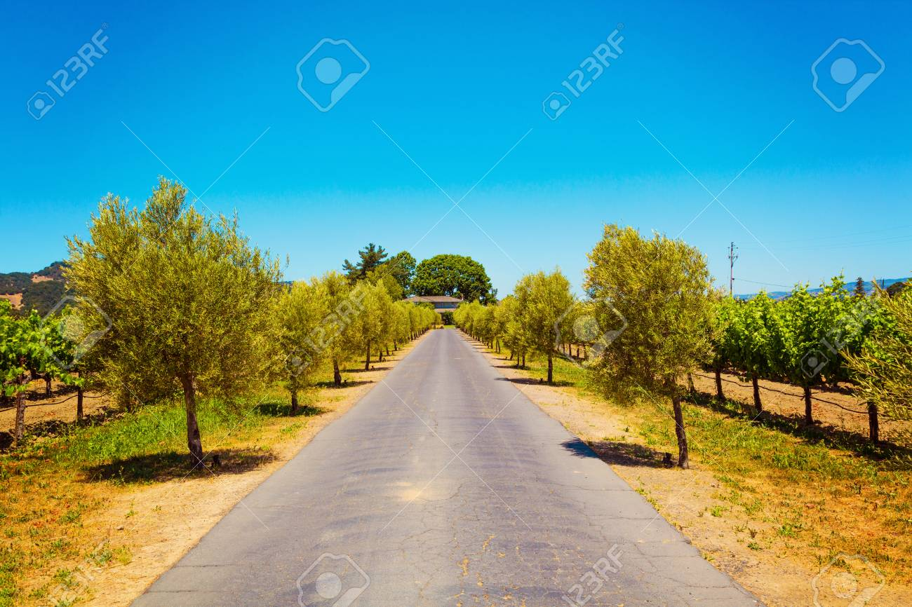 Californian vineyard landscape in Napa Valley in summertime - 97052857
