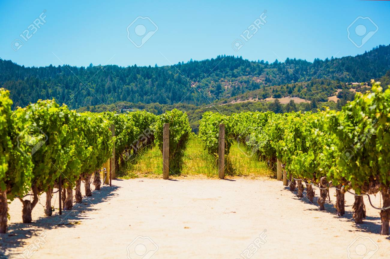 Californian vineyard landscape in Napa Valley in summertime - 97058607