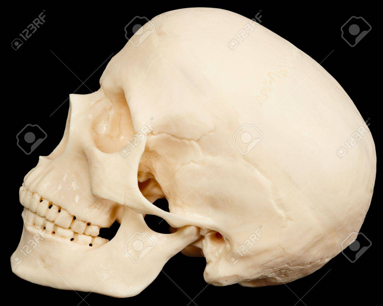 The human skull on a black background in profile Stock Photo - 6916261