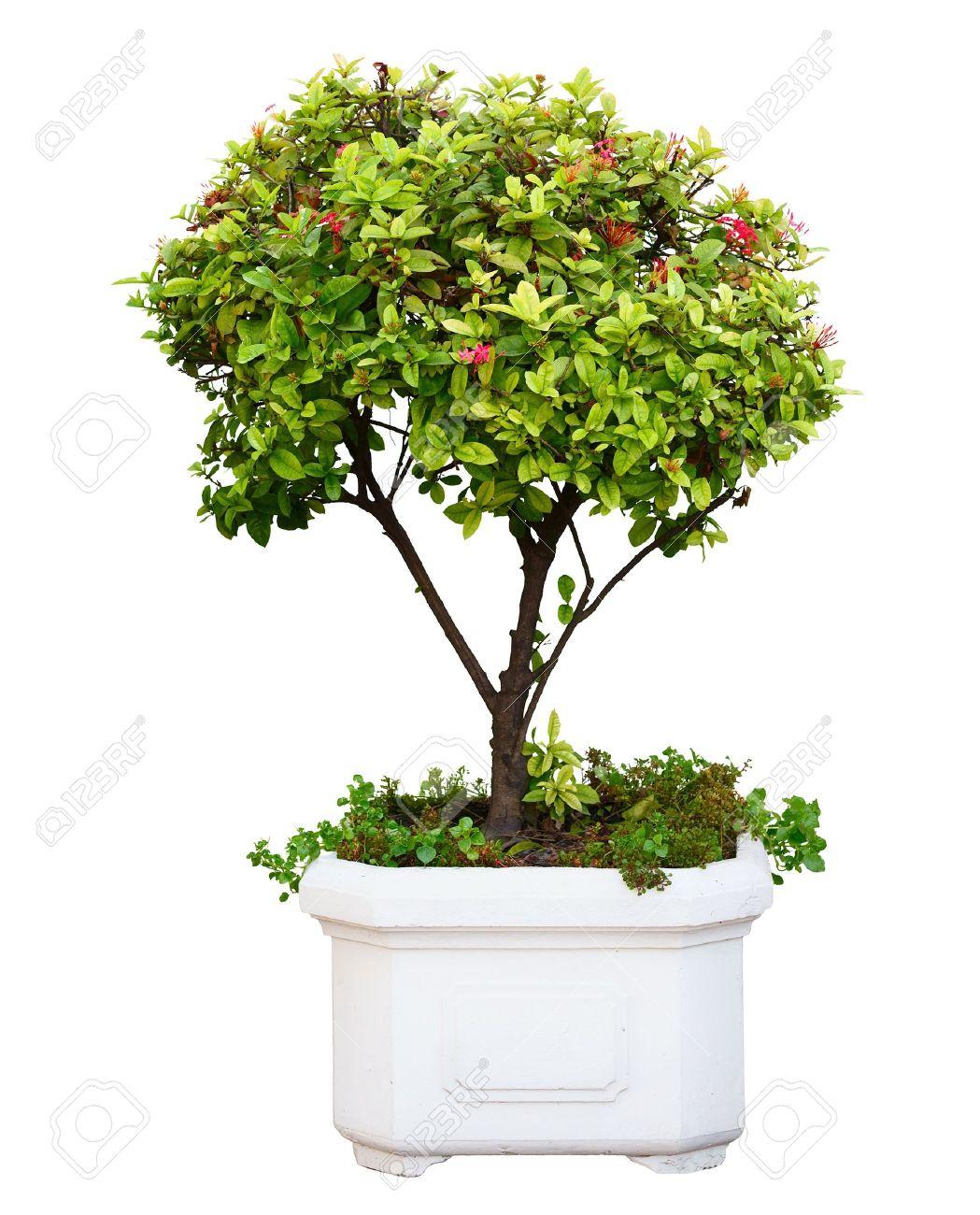 Boom In Pot.Bonsai Dwerg Groene Boom In Pot Gea Soleerd Op Witte Achtergrond