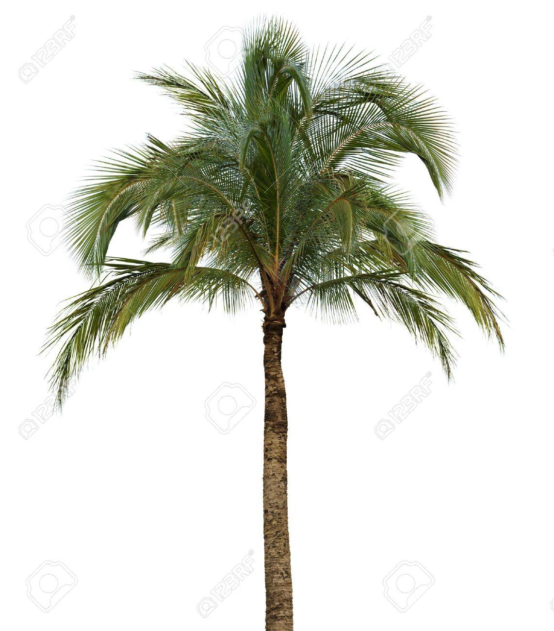 Coconut palm tree isolated on white background without fruit - 19743660