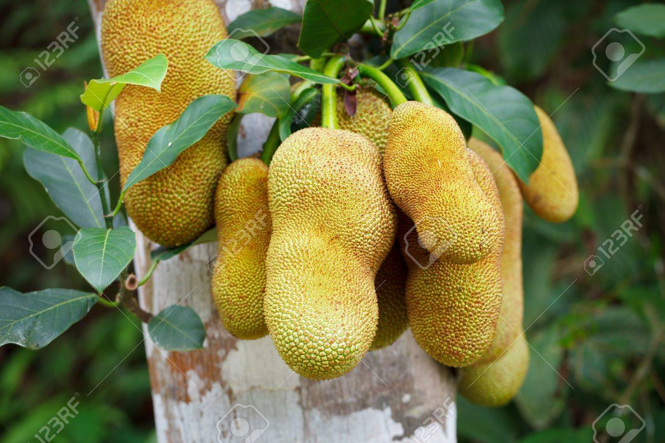 The Tropical Fruits Of Jackfruit On Tree In Rainforest Stock Photo ...