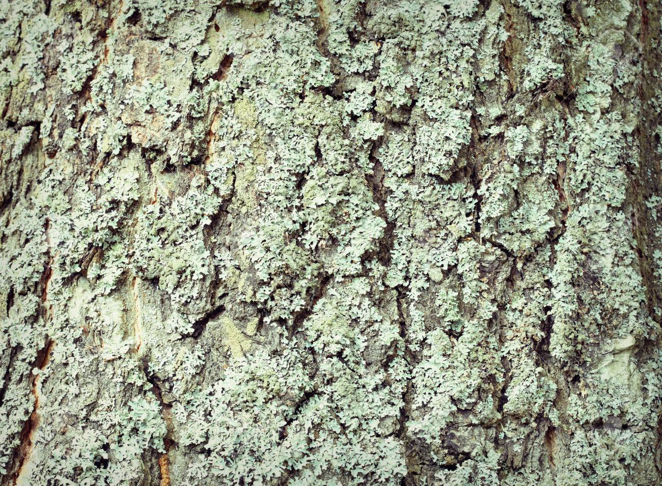 The Surface Of Old Tree Bark Covered With Lichen Stock Photo ...