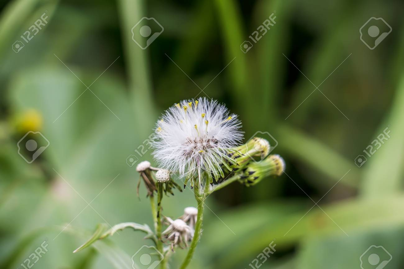 Dandelions Dandelion Meadow White Flowers In Green Grass Stock