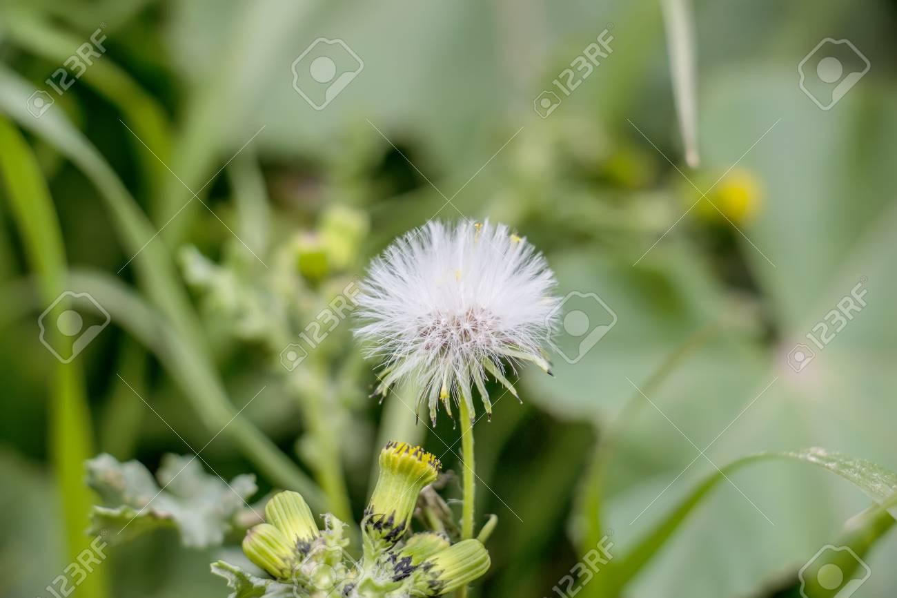 Dandelions Dandelion Meadow White Flowers In Green Grass Stock