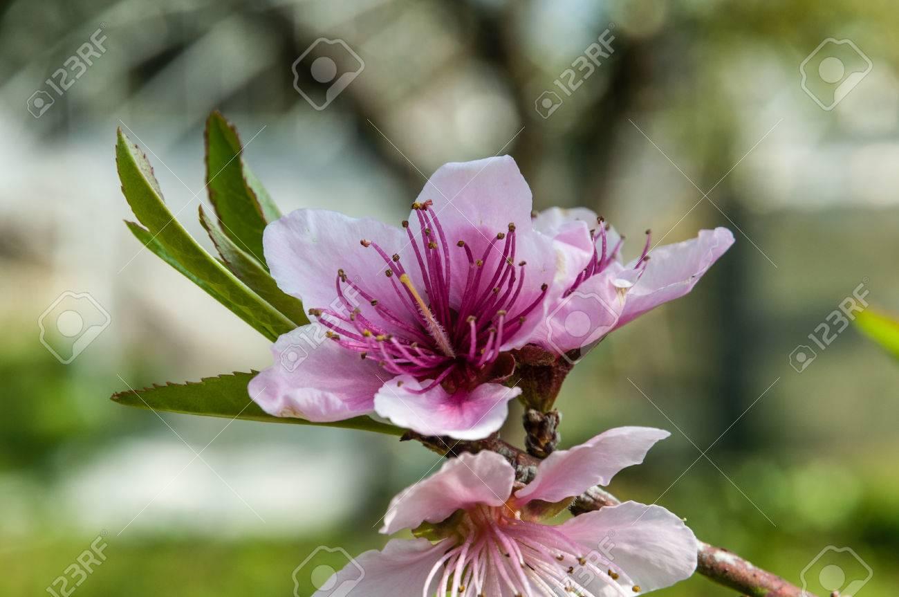 Deux Fleur De Pecher Sur La Branche Banque D Images Et Photos Libres