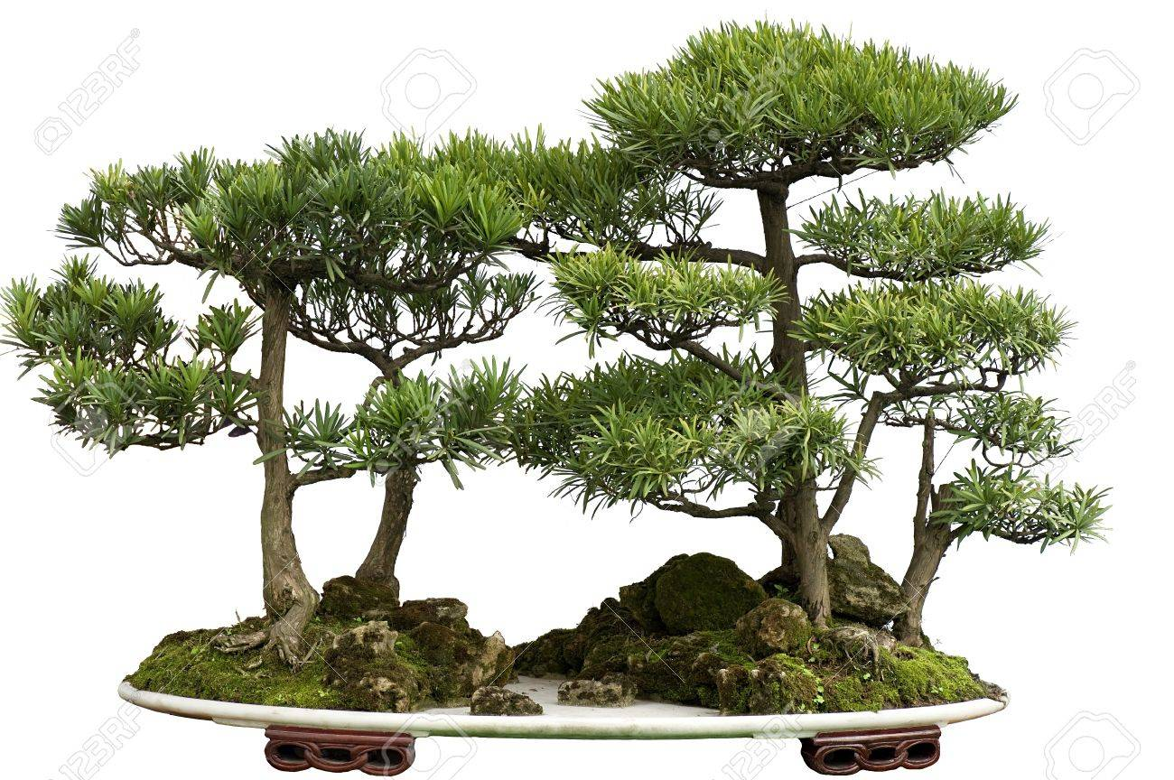 this china bonsai is made of cedar. Stock Photo - 8430521