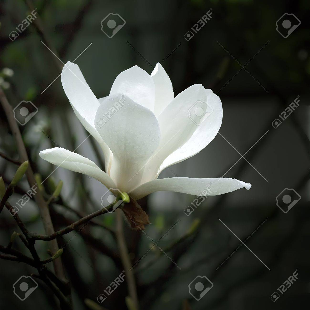 A beautiful white magnolia flower with fresh odor stock photo a beautiful white magnolia flower with fresh odor stock photo 8470920 mightylinksfo