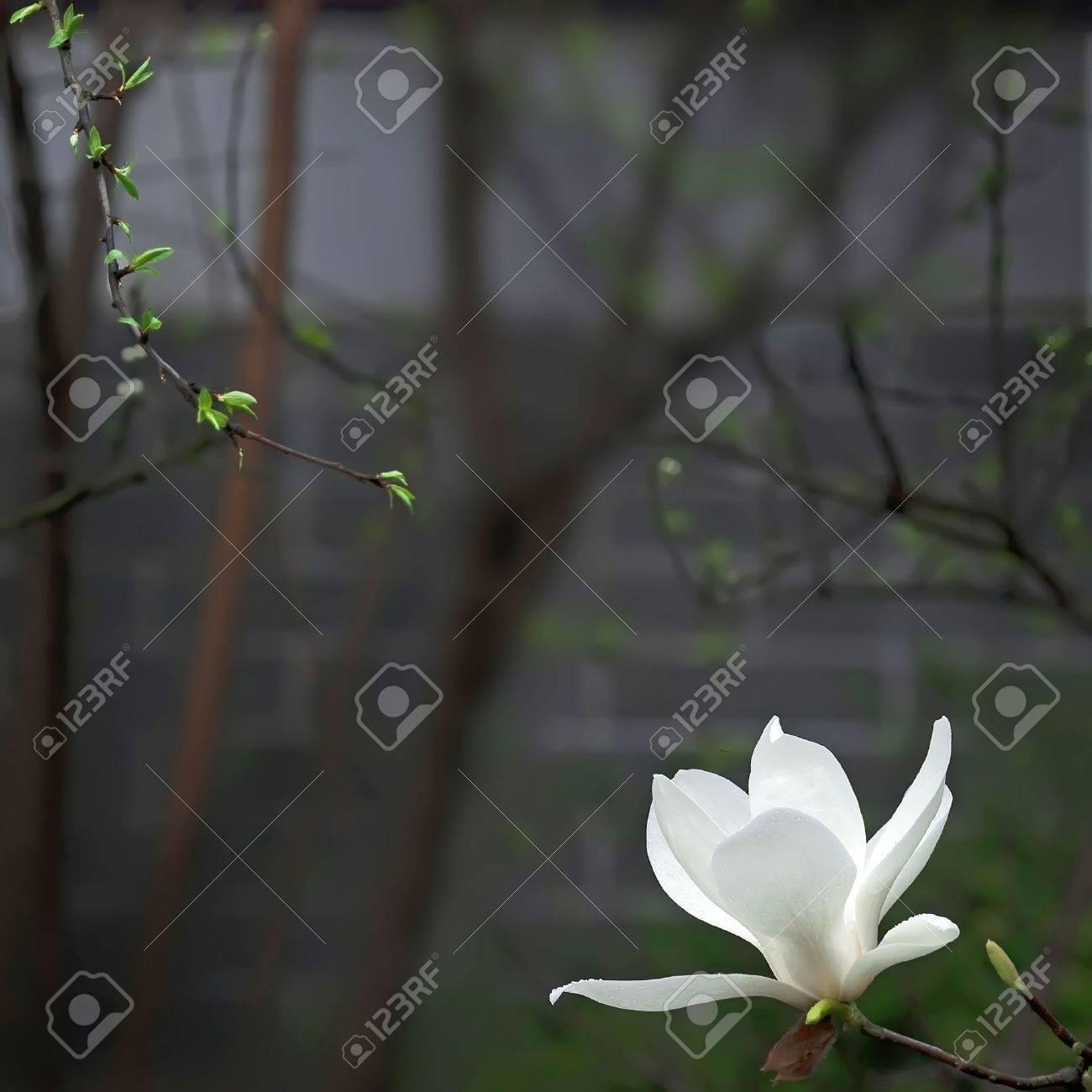 A Beautiful White Magnolia Flower With Fresh Odor Stock Photo