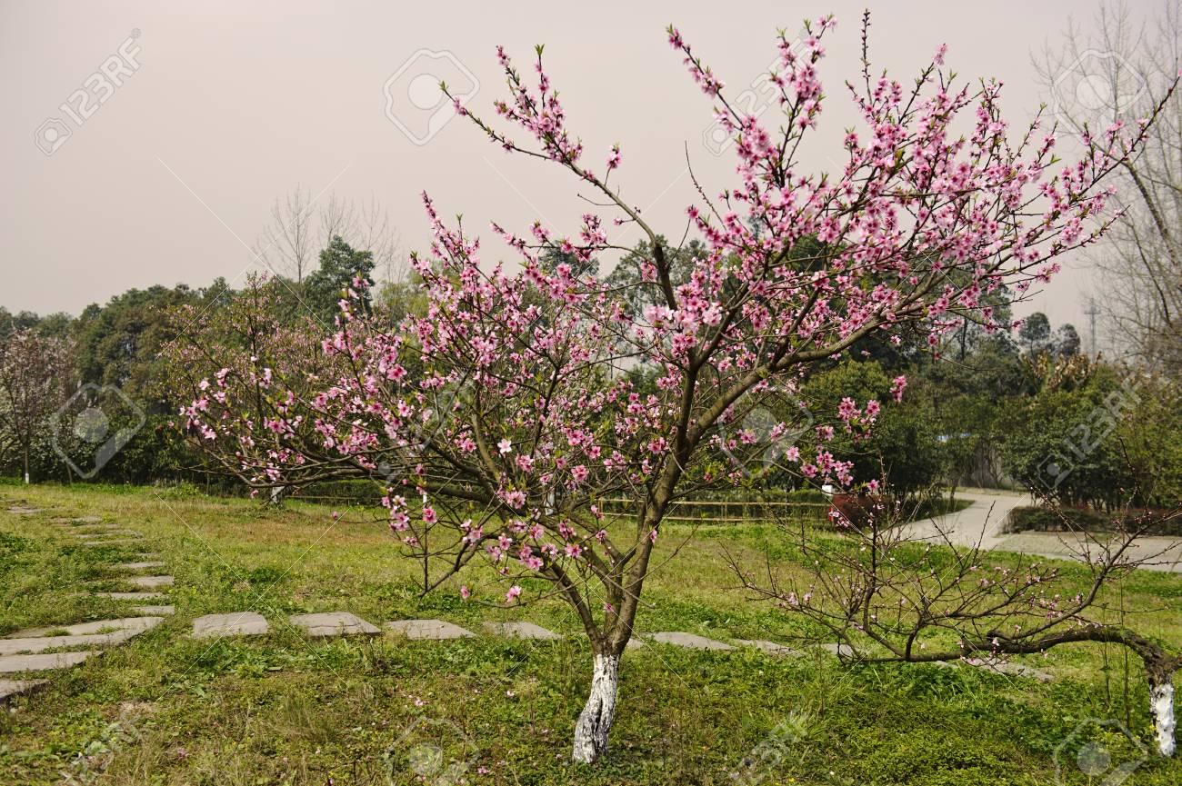 Fleur De Pecher Dans Un Jardin Au Printemps Banque D Images Et