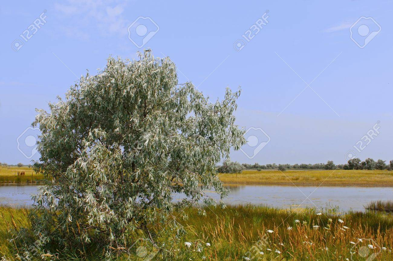 Wild olive tree above salt lake. Kinburn Spit near the town Ochakiv, Ukraine Stock Photo - 8825693