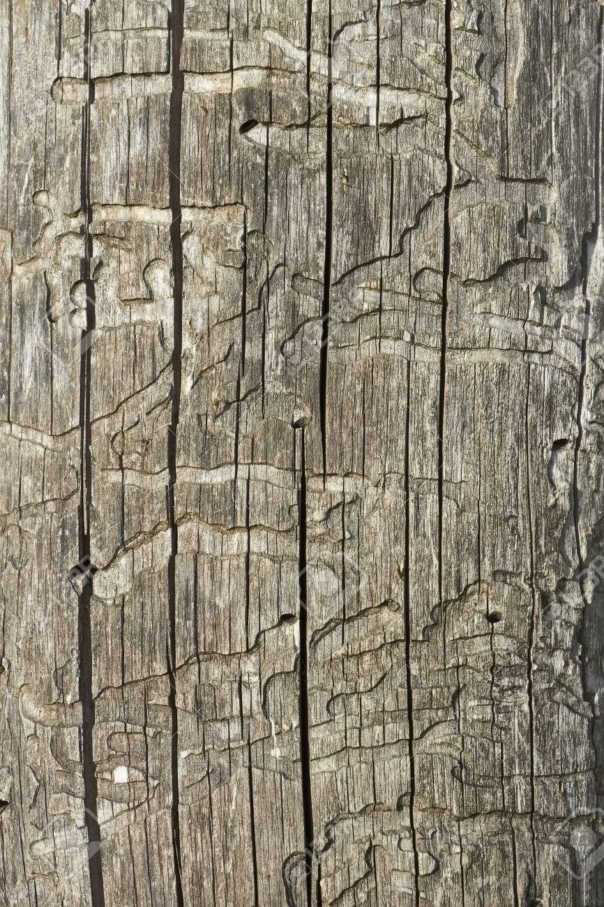 Detail of old wooden logs with bark beetles damaged surface Stock Photo - 13783984