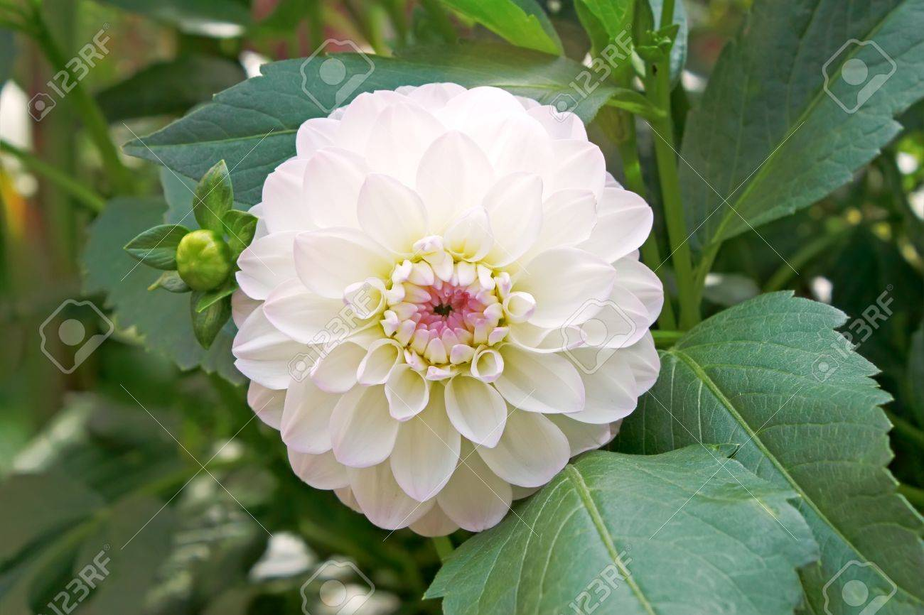 White with pink tinge dahlia on flowerbed close up Stock Photo - 15301946
