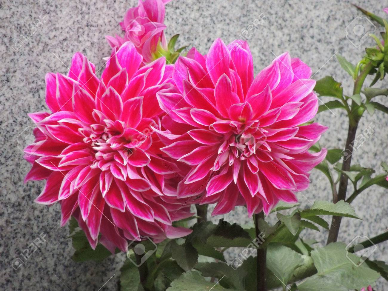 Schone Herbst Chrysantheme Lizenzfreie Fotos Bilder Und Stock