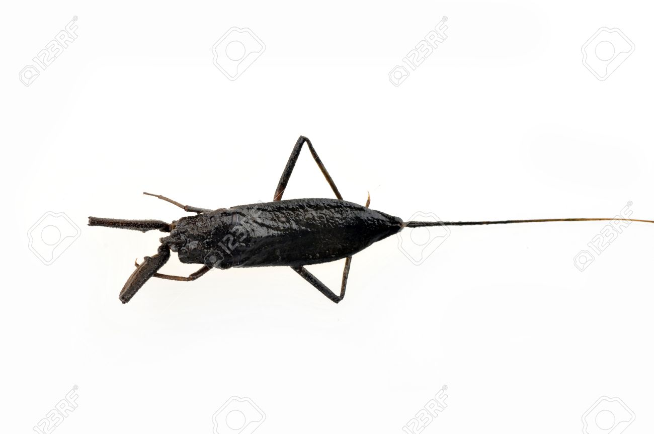 Water scorpions on white background living in the wild animals