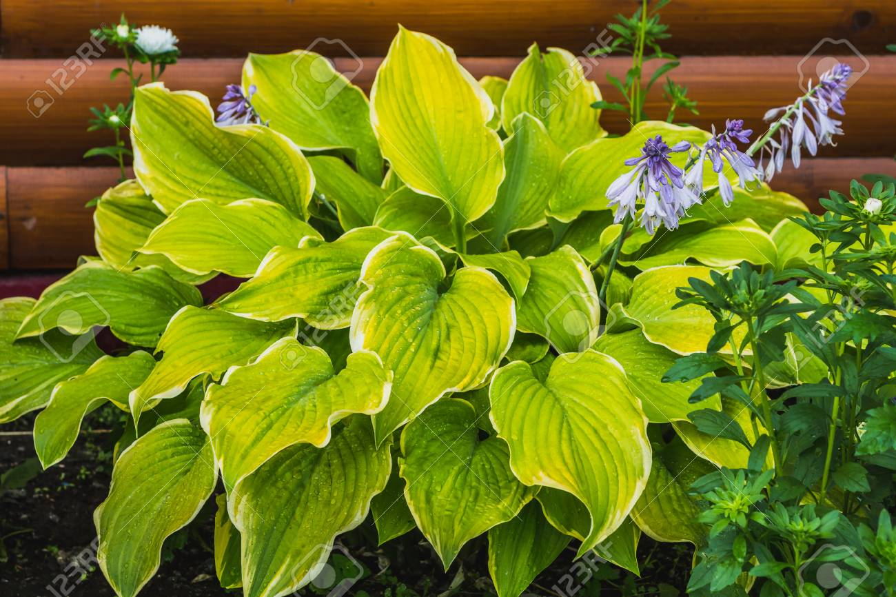 The Green And White Leaves Of Hosta Plants With Blue Flowers Stock