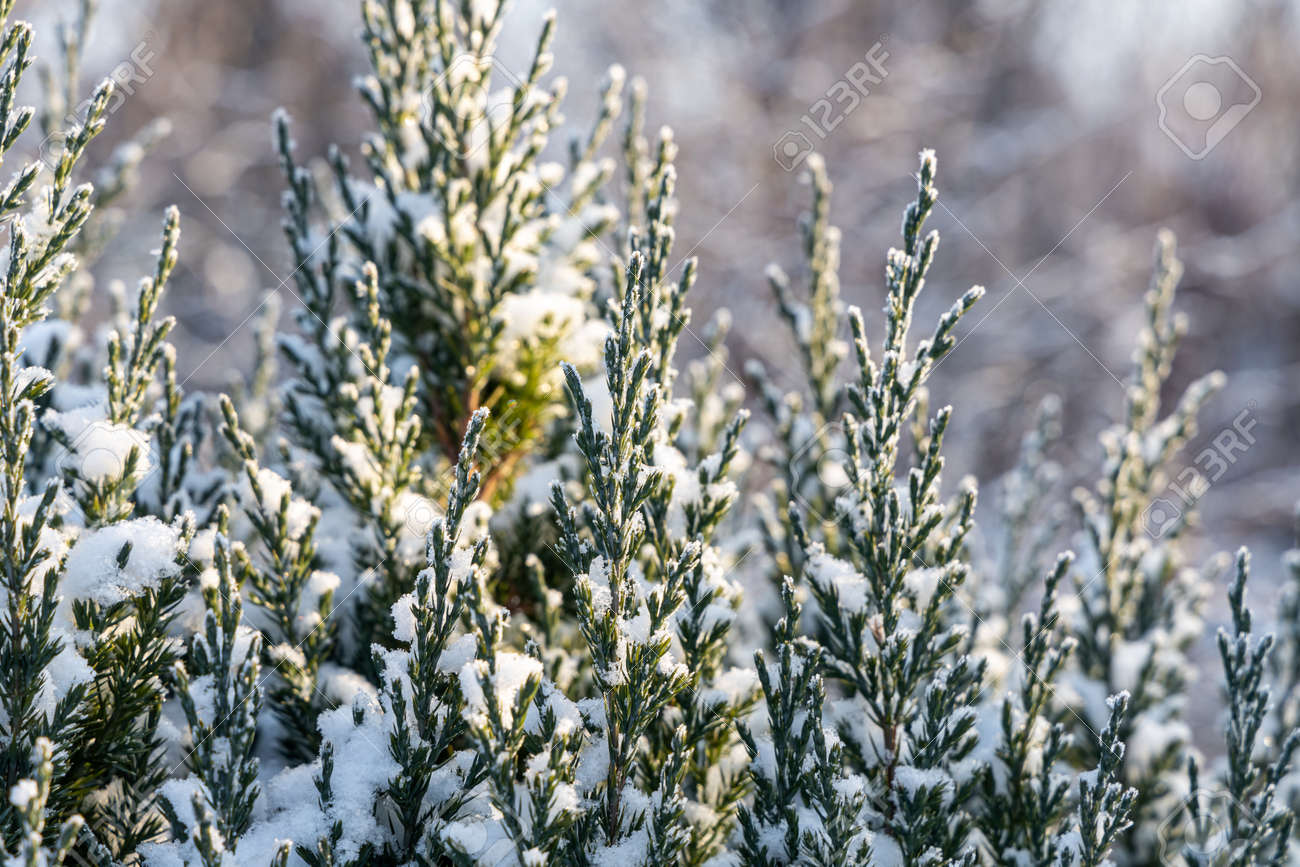 The green juniper branches covered with white fluffy snow are in winter day in the forest - 168626903