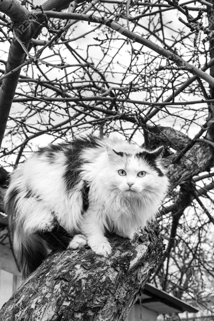 A beautiful adult long hair black white and red cat with big blue eyes scrambles on a tree - 168626906