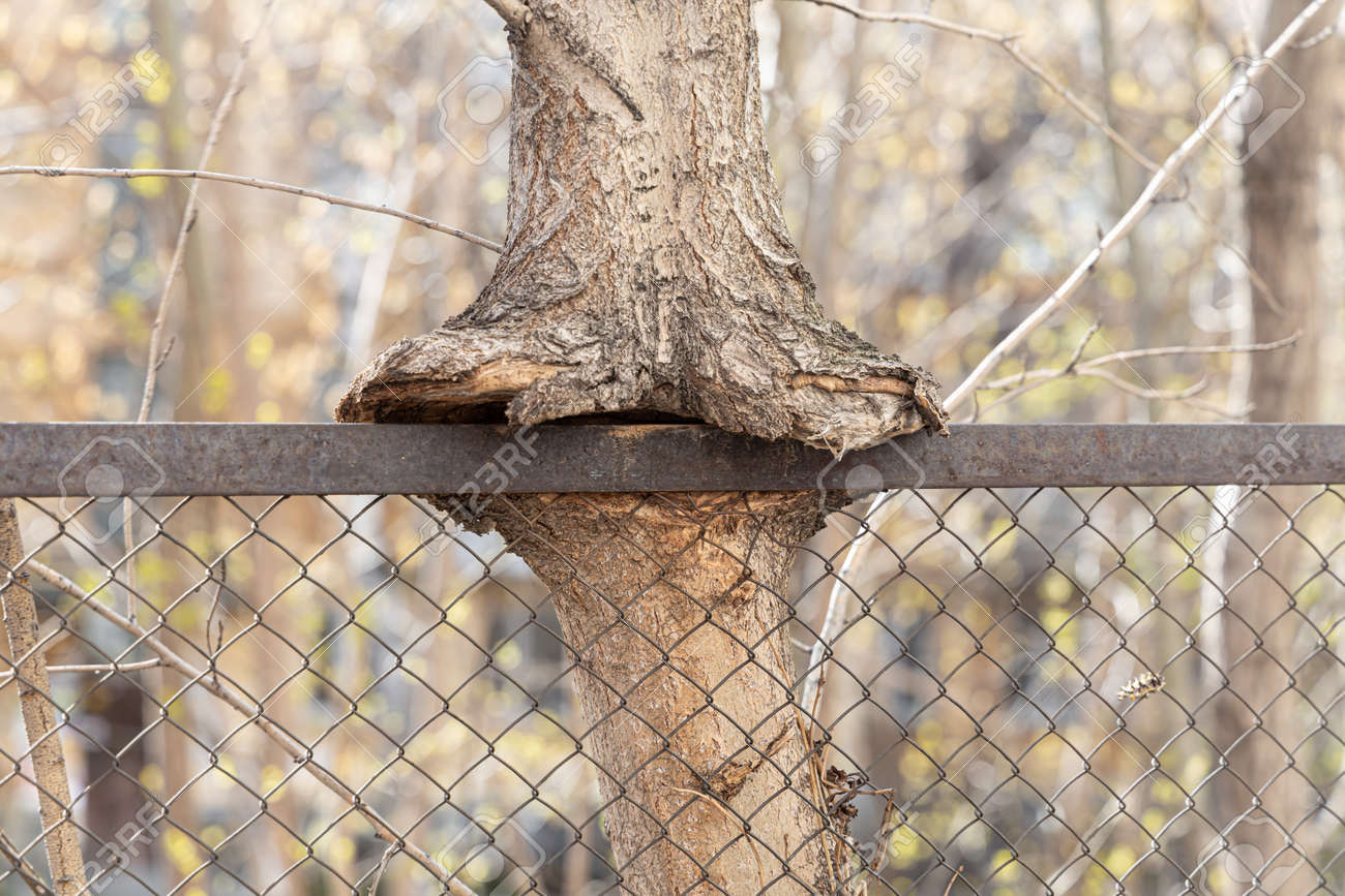 The brown tree trunk is embedded in a metal fence mesh - 168626956