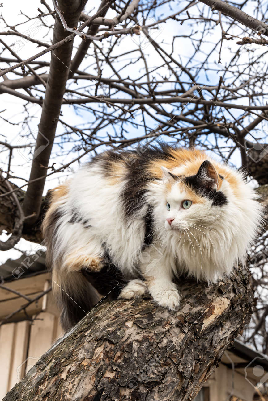 A beautiful adult long hair black white and red cat with big blue eyes scrambles on a tree - 168626995