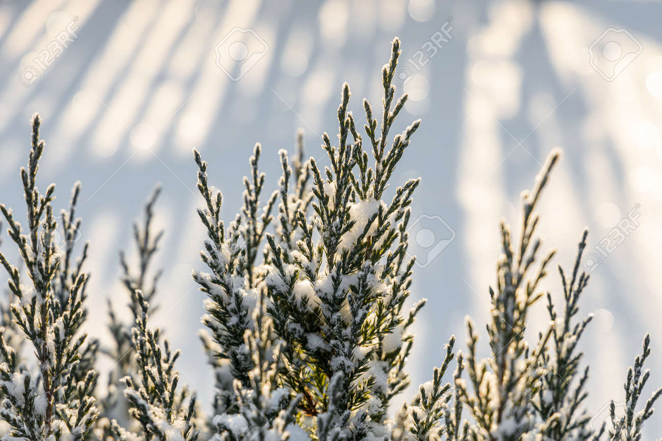 The green juniper branches covered with white fluffy snow are in winter day in the forest - 168627000