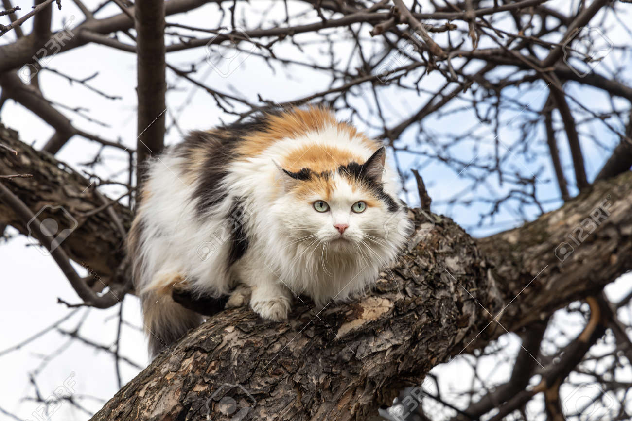 A beautiful adult long hair black white and red cat with big blue eyes scrambles on a tree - 168627060