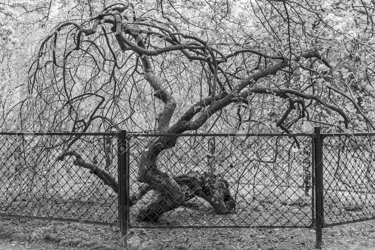 The Branchy rowan tree with fresh leaves is behind a metal fence in the park in spring. Black and white - 169319592