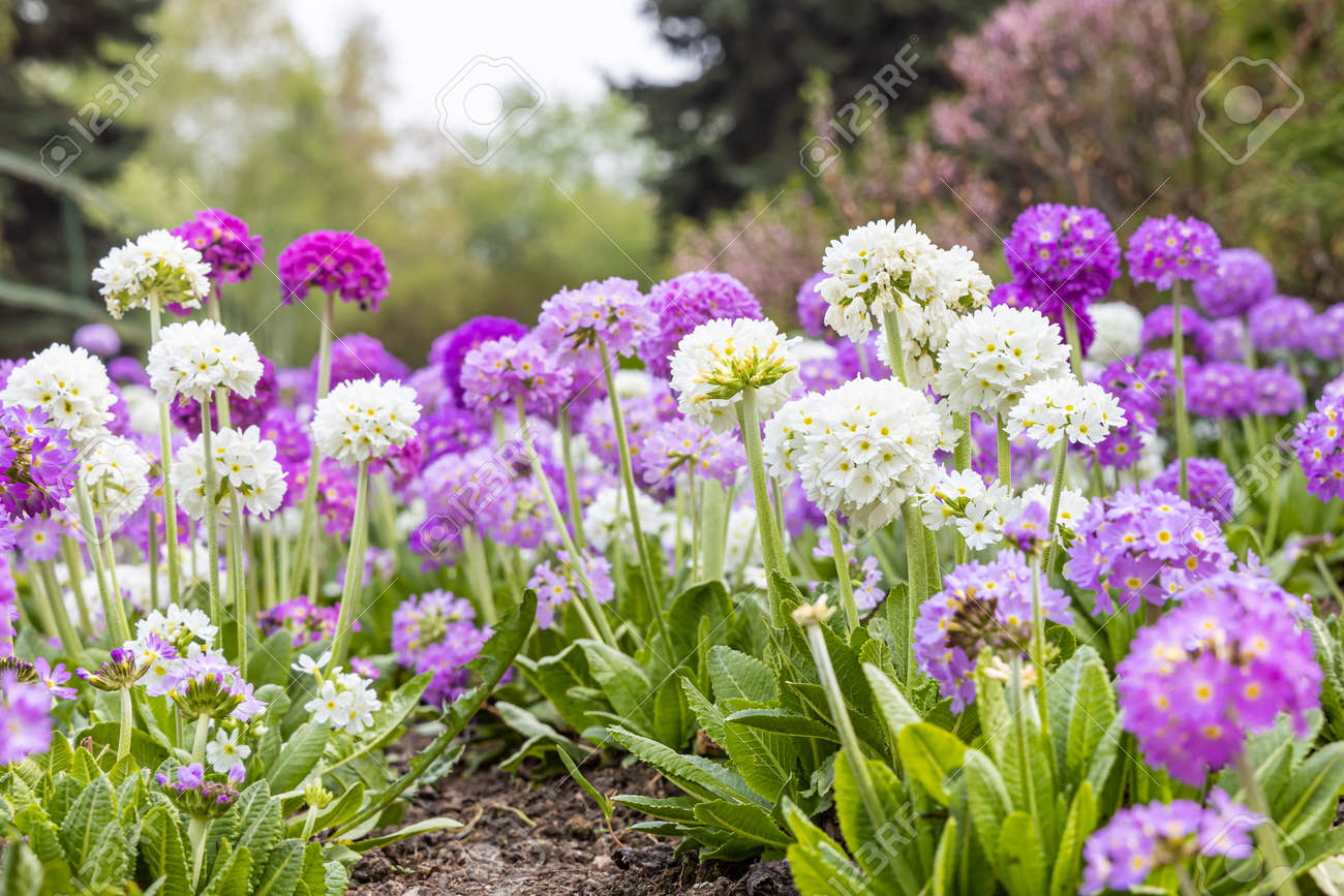 The White and violet round Primrose flowers with beautiful green leaves bloom in spring in the garden - 169319690