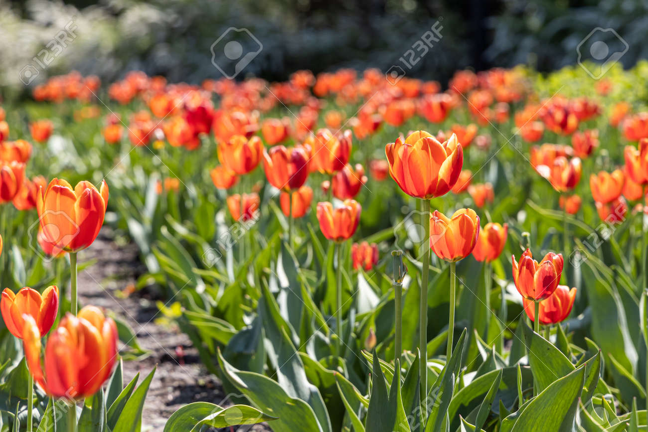 Group of Orange tulips with stamens and pestle is on a blurred green background - 170100937