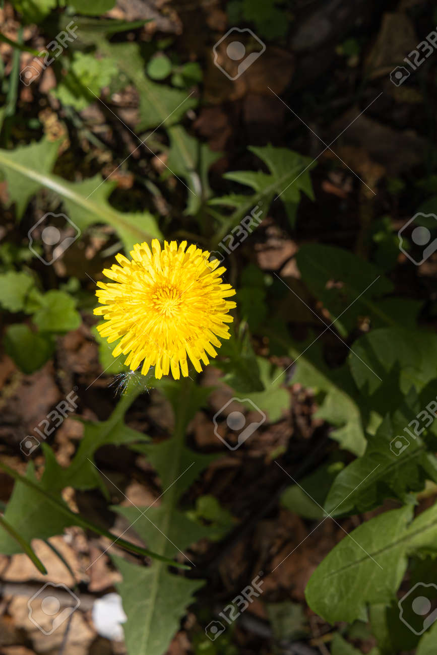 A yellow dandelion head is on a beautiful blurred orange background. Vertical - 170101874