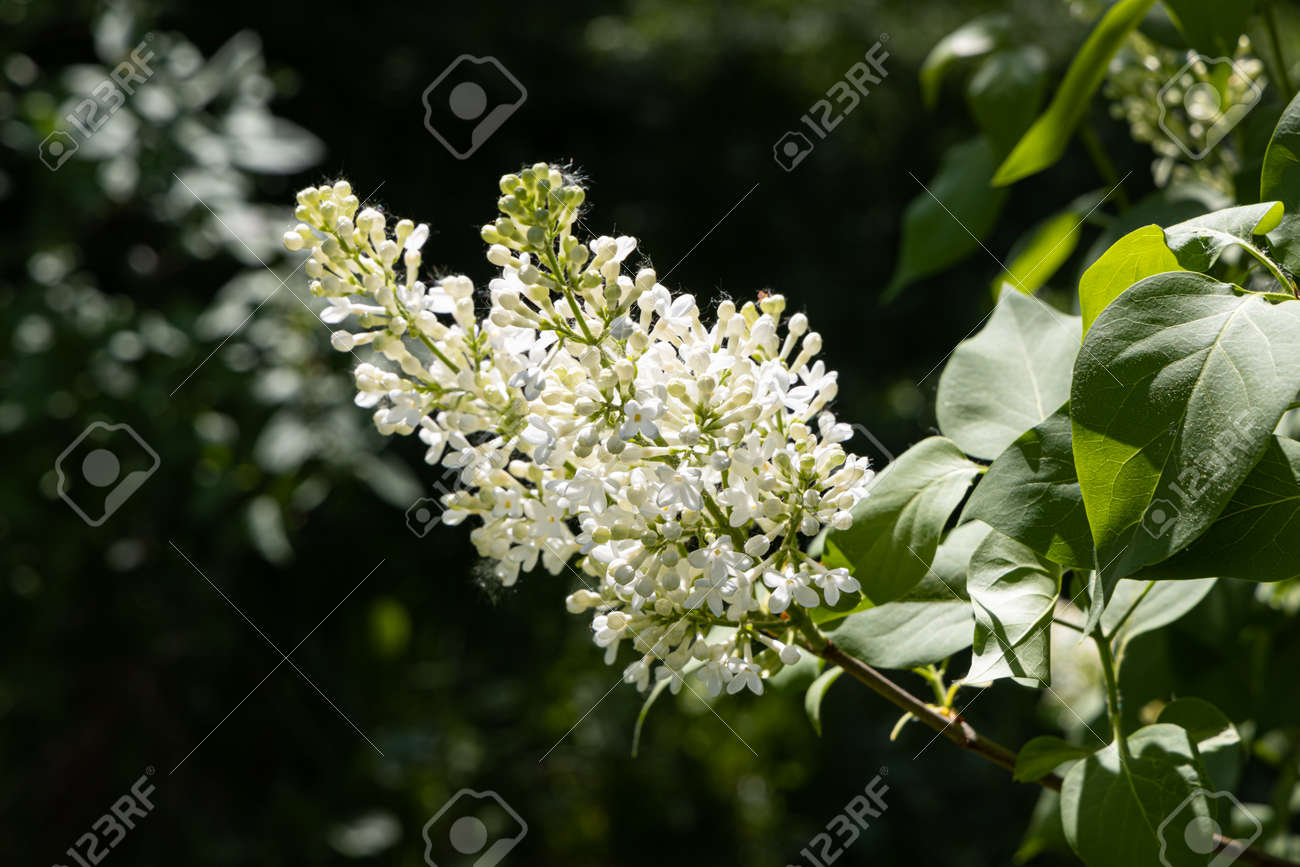 A branch of white lilac with green leaves and buds blooms on a green blurred background in summer - 170076298