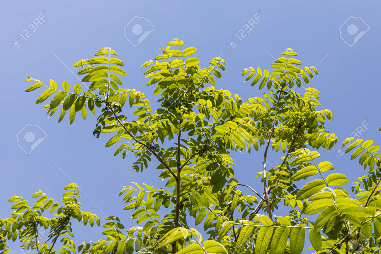 A Beautiful young small branchy Jaspidea tree with fresh green leaves on the blue sky background in a park in summer - 170008867