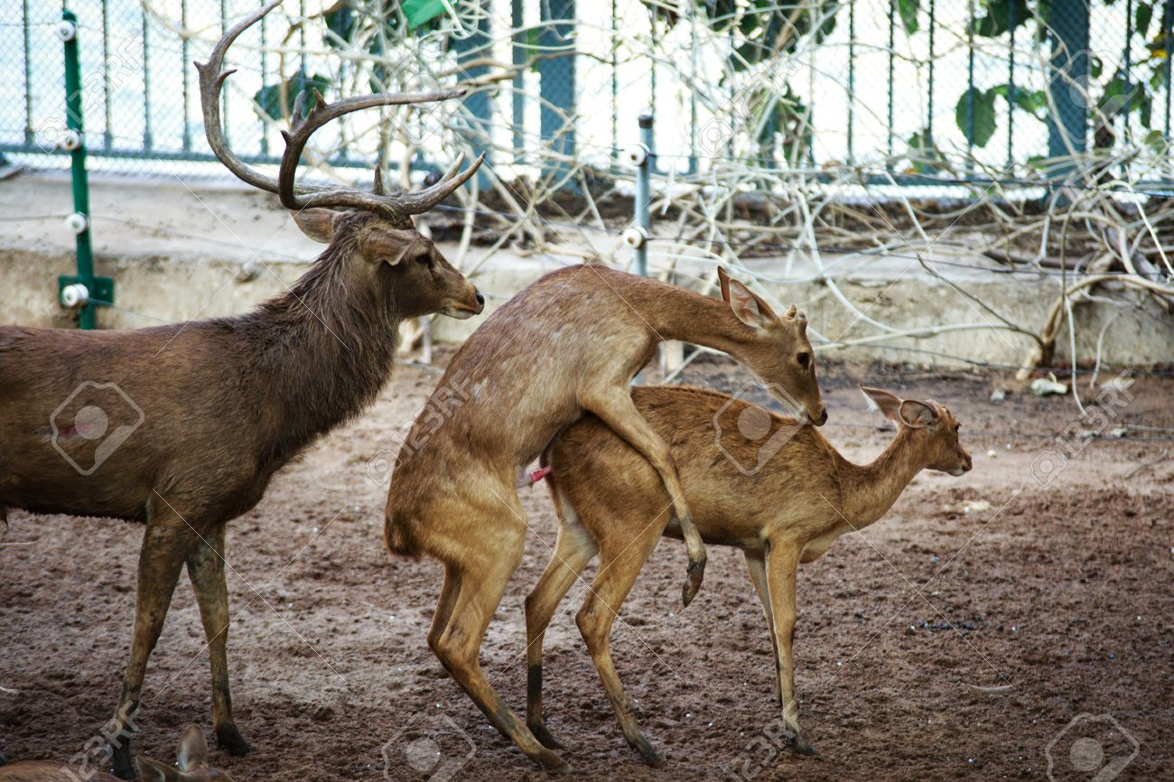 Deer mating dildo photo 36