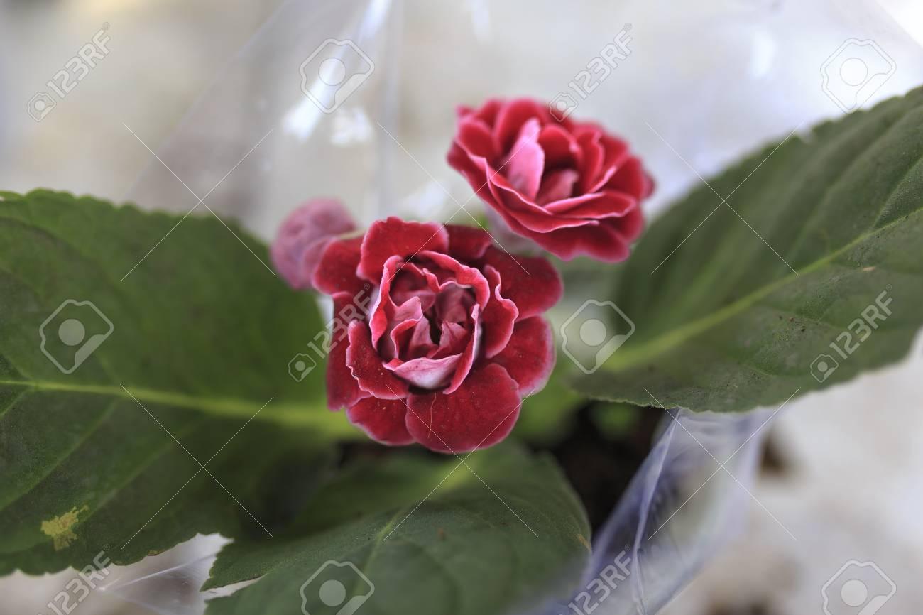 Gros Pot Fleur Plastique gros plan de fleurs de camélia rose, les pots de fleurs sont emballés dans  du plastique
