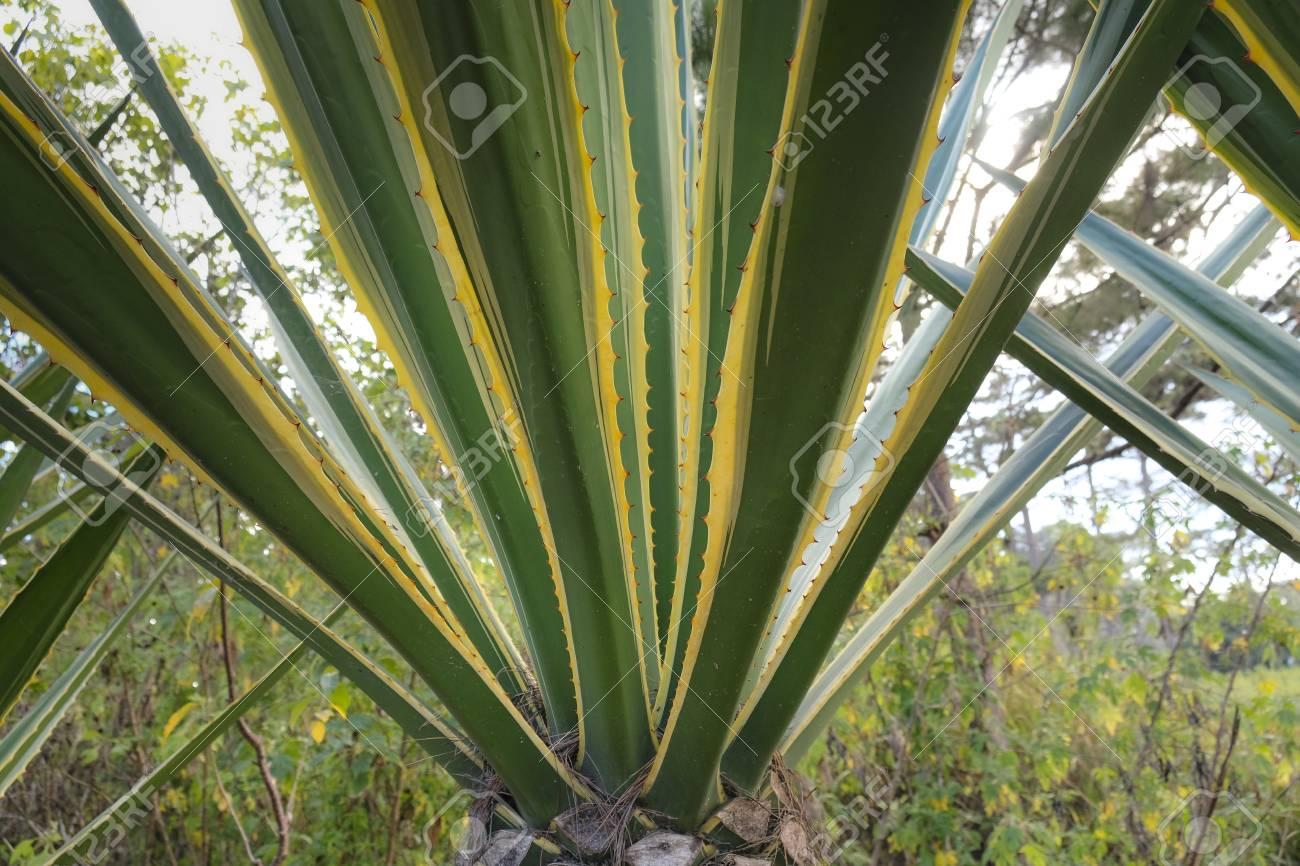 precio plantas de agave azul