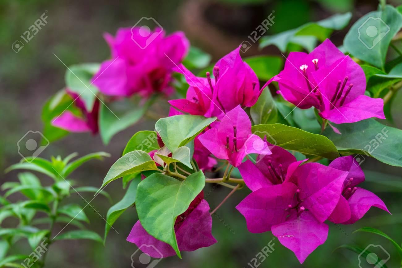 fleur de bougainvillier rose avec feuille verte, flou d'arrière-plan