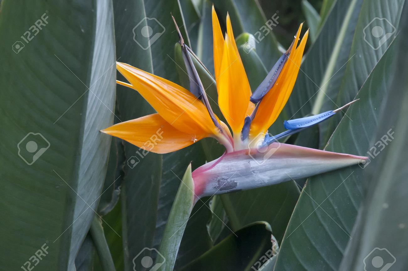 Oiseau De Paradis De Fleurs A Puerto De La Cruz A Tenerife Dans Les