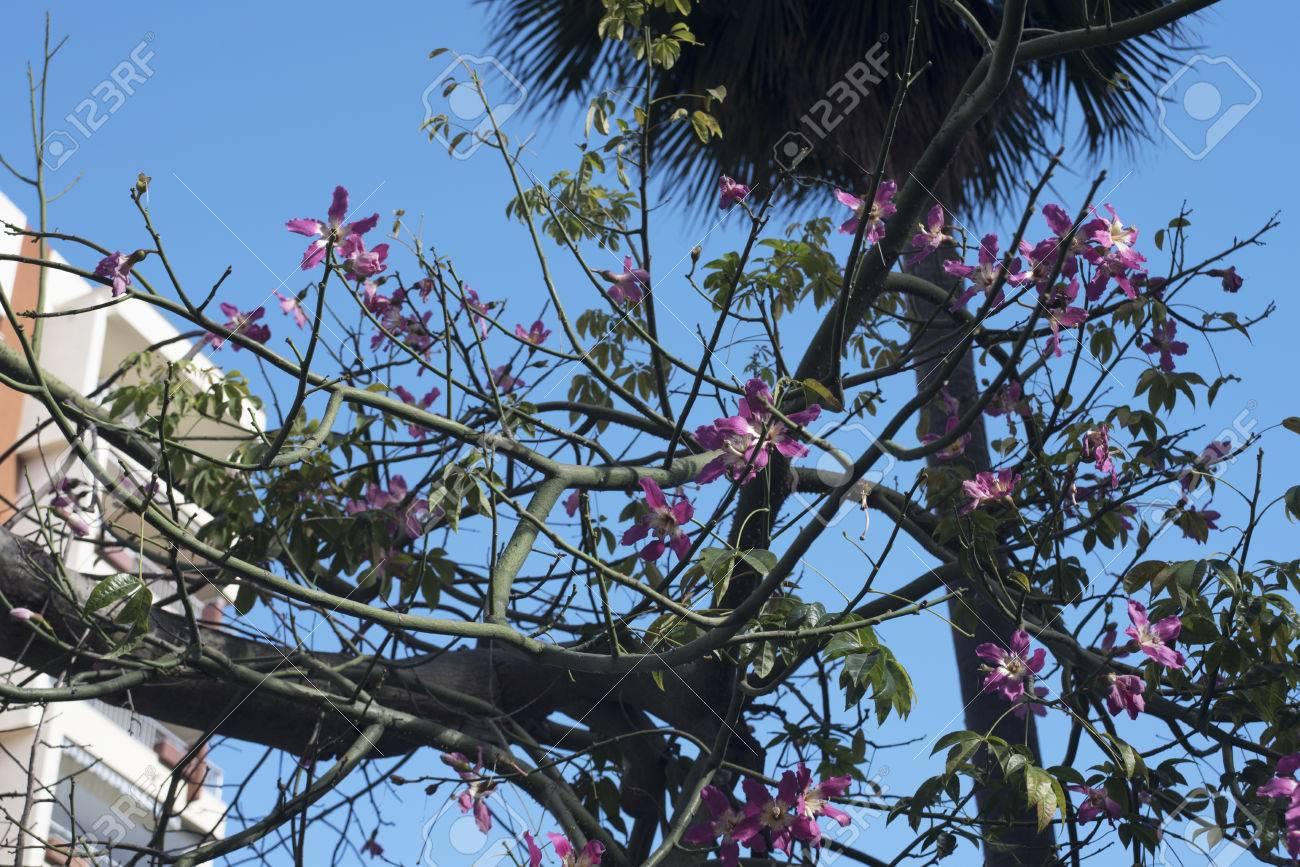 avocat arbre avec ses fleurs roses à marbella espagne banque d