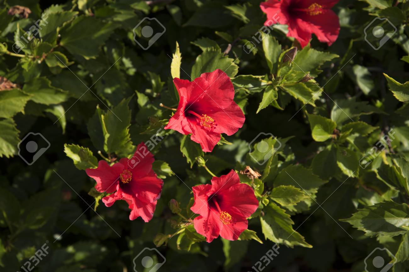 Hibiscus flowers on the balcon de europa in nerja spain stock photo hibiscus flowers on the balcon de europa in nerja spain stock photo 52224000 izmirmasajfo