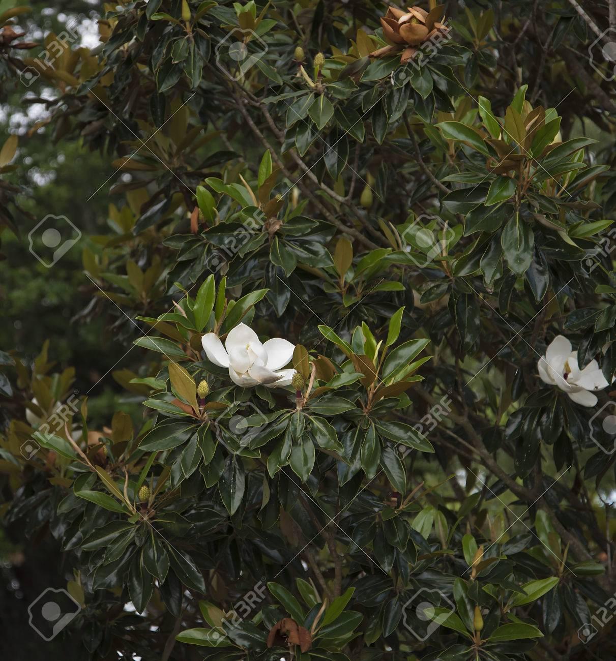 Magnolia Trees In The City Park Of New Orleans Louisiana Usa Stock